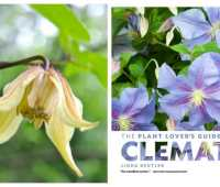 pairing clematis with proper partners, with linda beutler of rogerson clematis collection
