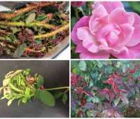 fighting back against rose rosette disease, with christina king of star roses