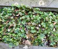liverwort and pearlwort: 2 weeds of my driveway and cracks-and-crevices