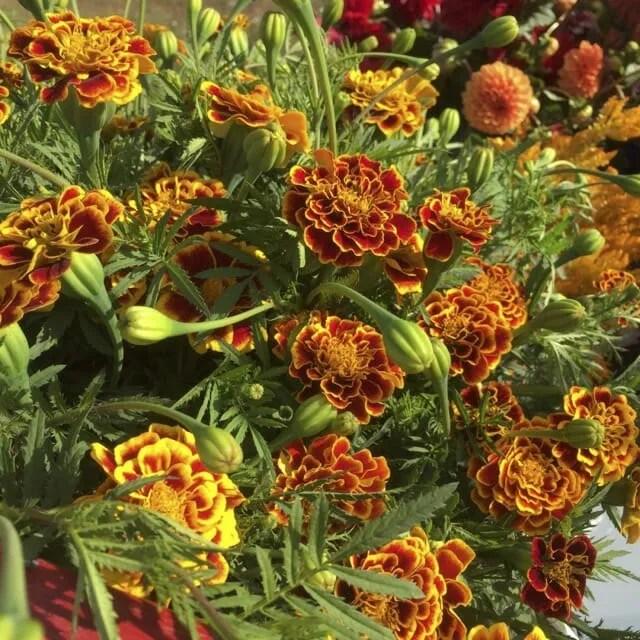 Sparkler marigold