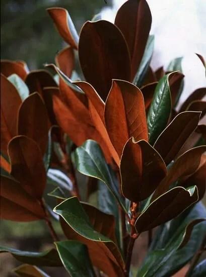 Magnolia grandiflora by Ken Druse