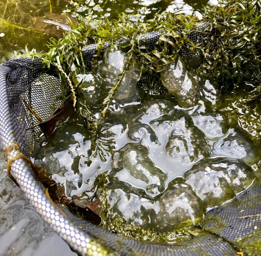 the year of the spotted salamander? egg masses galore