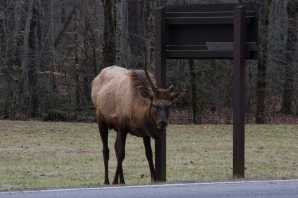 Elk at the Great Smoky Mountains National Park