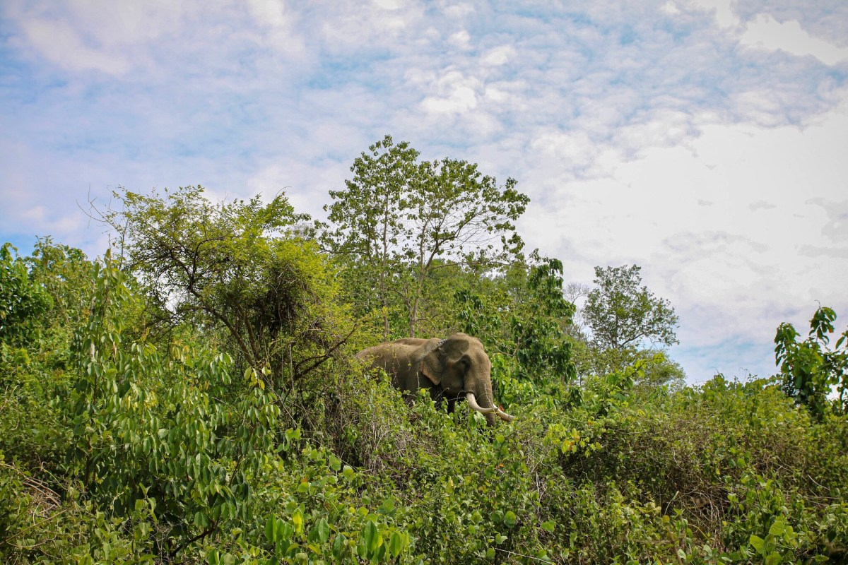 A male elephant at the Elephant Conservation centre in Sayaboury, Laos.