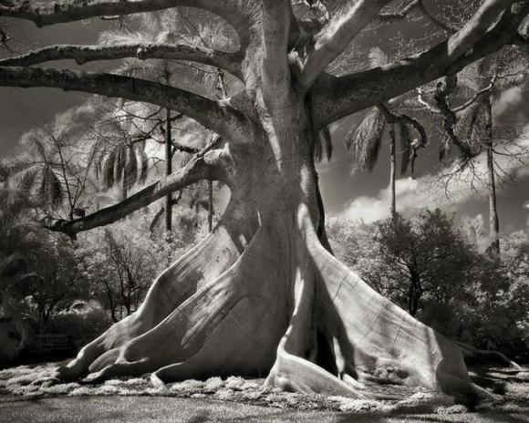 Árvores Ancestrais (10)