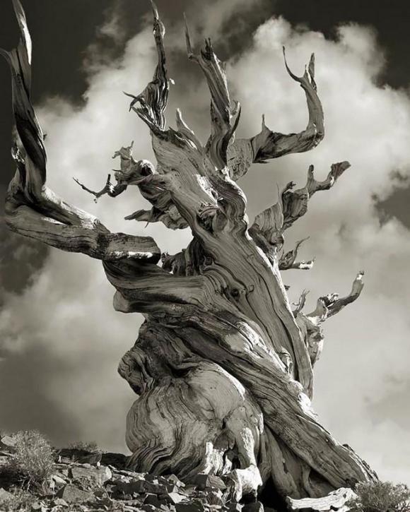 Árvores Ancestrais (15)