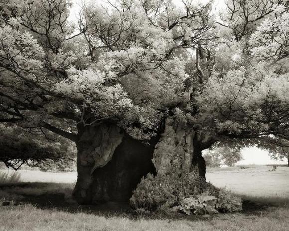 Árvores Ancestrais (19)