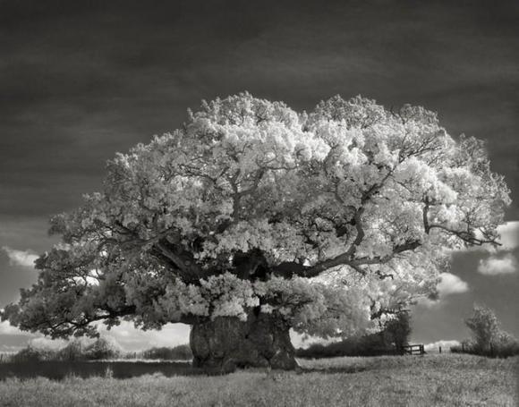 Árvores Ancestrais (2)