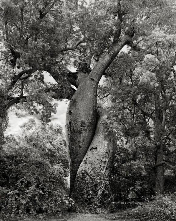 Árvores Ancestrais (20)