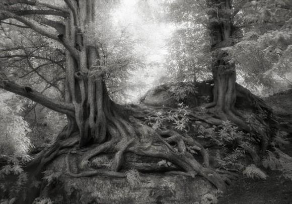 Árvores Ancestrais (7)