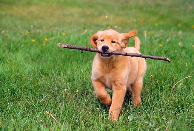 Orgulhoso, esse golden adora ouvir que é o bom menino quando consegue pegar tudo que jogam pra ele. Veja se ele não é todo cheio de si? :-P