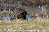 Nutria or river otter?