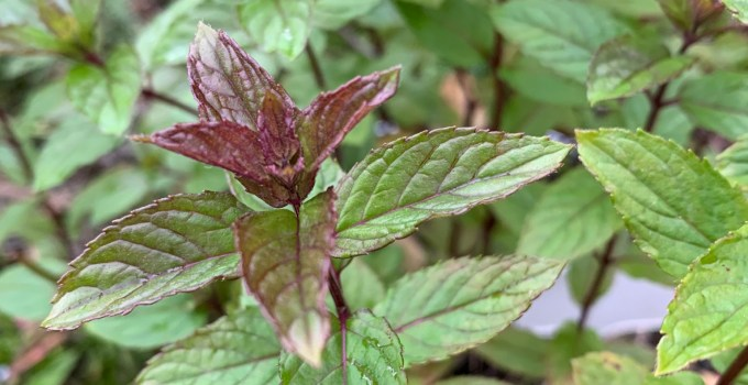 Mint – The Essential Summer Herb in the Garden