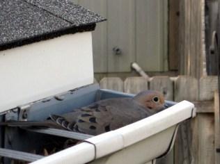 Morning Dove in Corner Gutter - 5/4/11