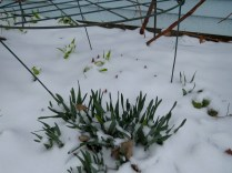 So are the daffodils and peony shoots.