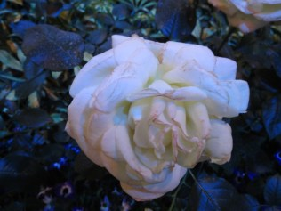 """Sugar Moon"" Rose - lovely fragrance!"