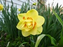 """Tahiti"" Daffodil - 4/13/17"