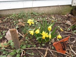 First daffodils have been blooming since 3/27/17.