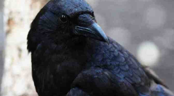 These Intelligent Crows Will Make You Smile