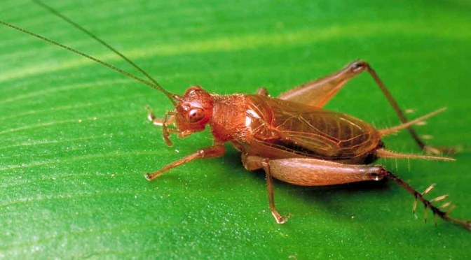 Crickets – Nature's Weather Reporters