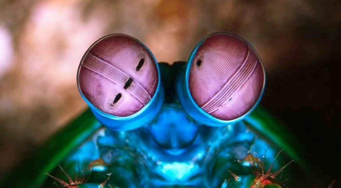 Eyes of the Mantis Shrimp – Colours and Hexnocular Vision