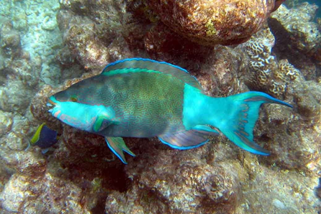 White Sand Is Mostly Parrot Fish Poop