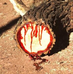 bloodwood-tree-4[12]