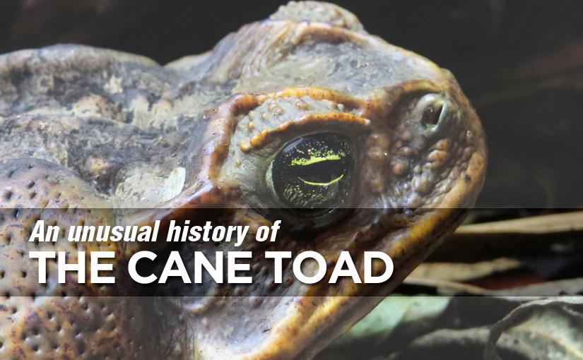 The Menace of American toads in Queensland Australia