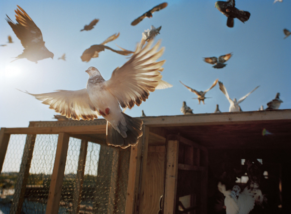pigeonflyers25