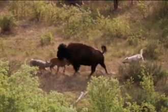 Bison and her calf battle Wolves Screencap 2