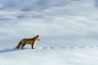 Fox dives headfirst into the snow screencap