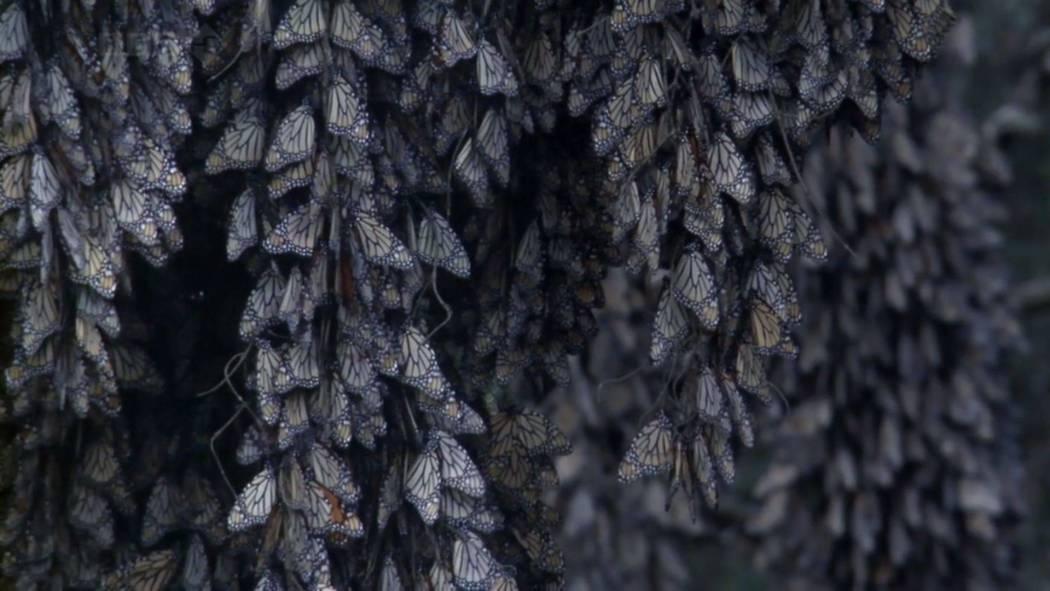 Monarch Butterfly BBC Screencap