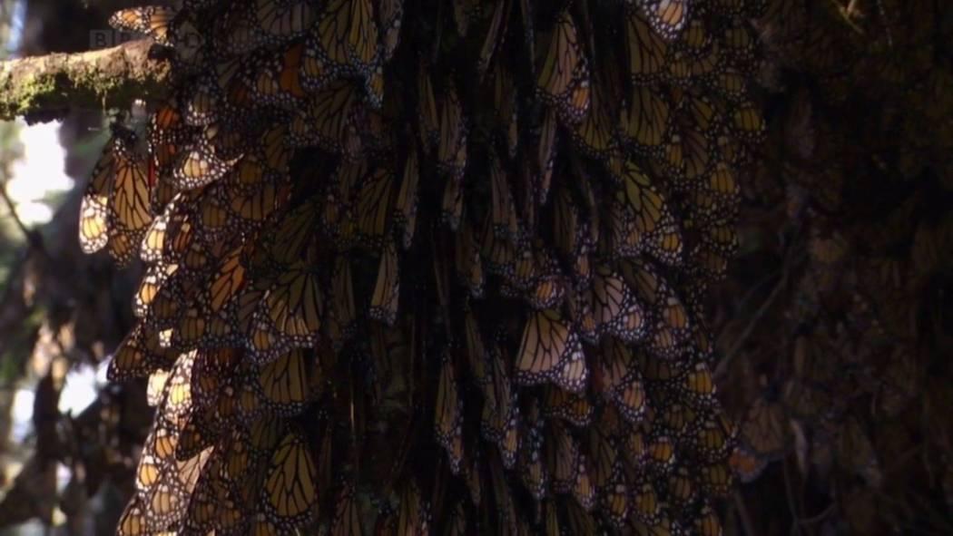 Monarch Butterfly BBC Screencap3