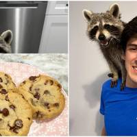 Tito, The Adorable Pet Raccoon, Entertains Viewers With His Antics On YouTube