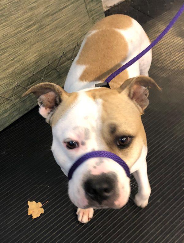 Sadie a bully breed from Ottawa