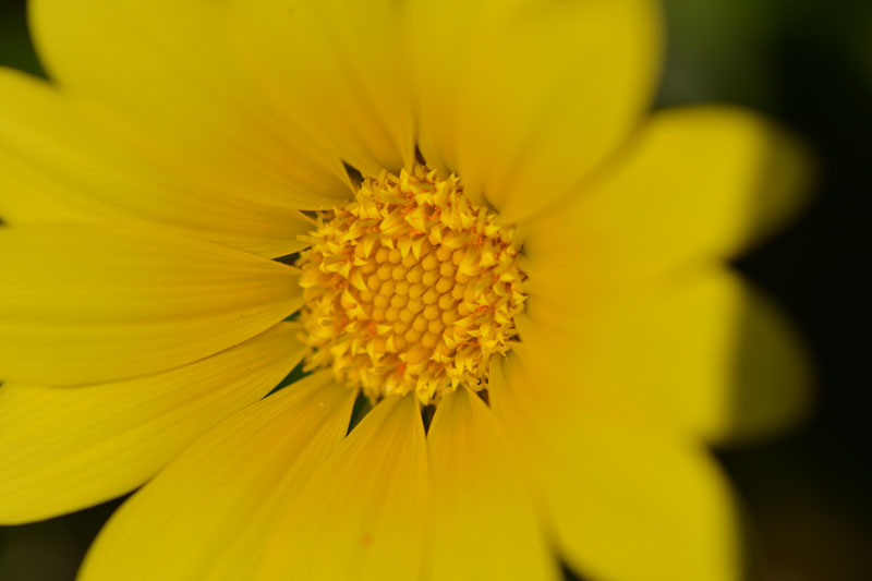 yellow-flower_7810