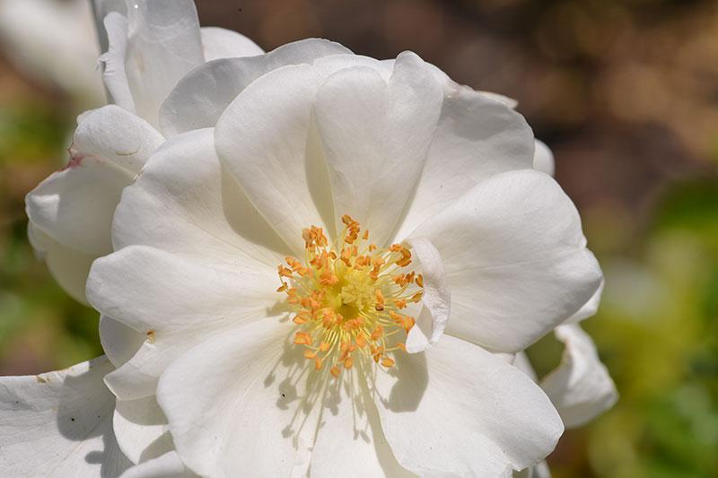 white-flower_8739