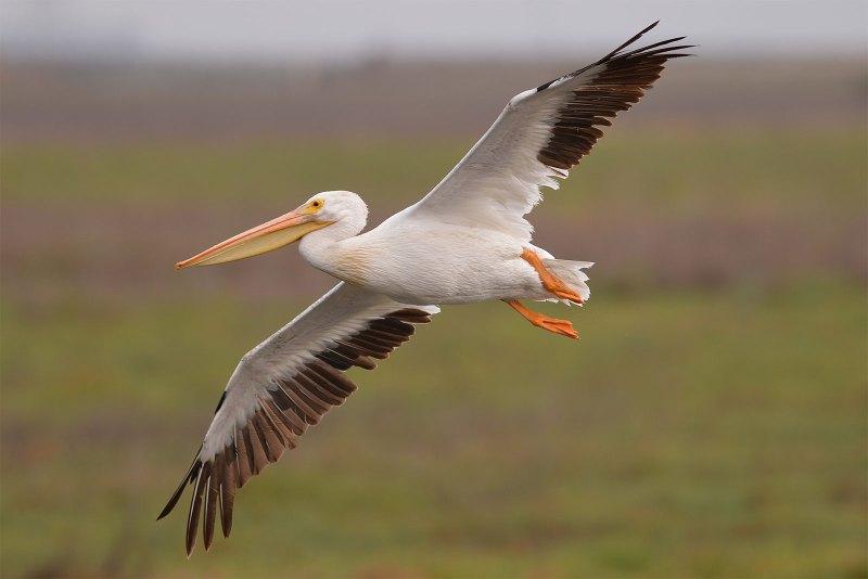 american-white-pelican_0940