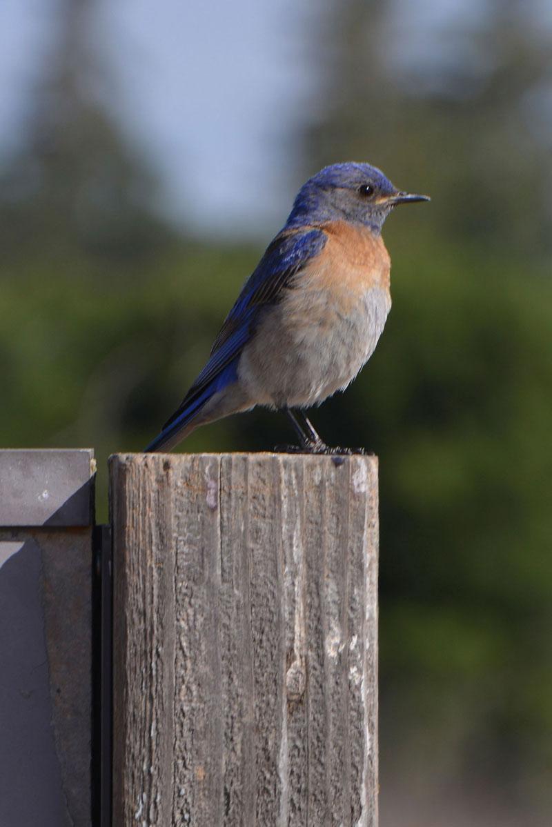 bluebird_9565