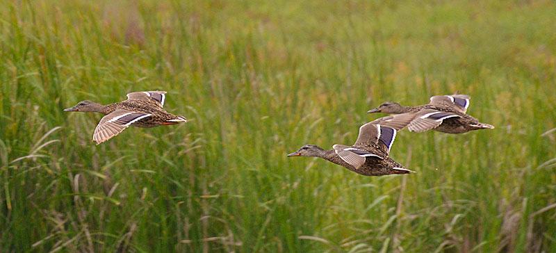 ducks_9867