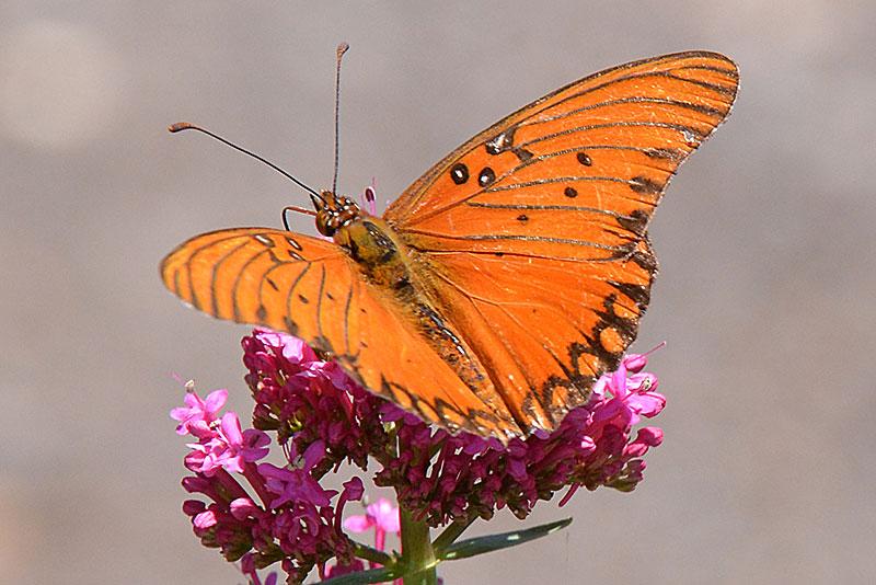 Gulf Fritillary Butterfly width=