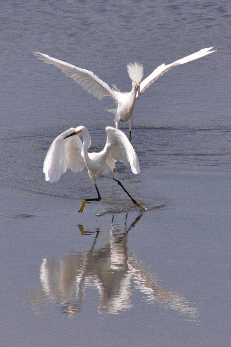 snowy-egret_1620