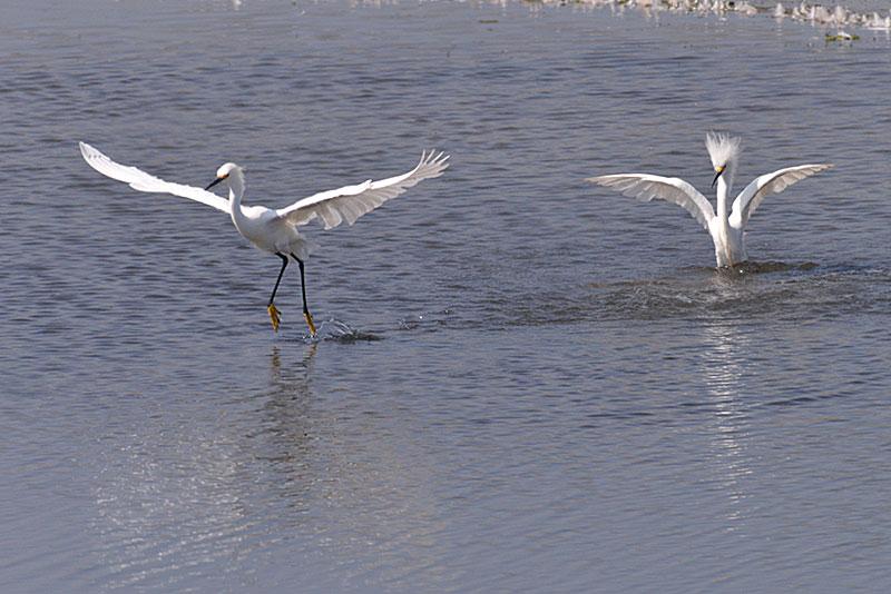 snowy-egret_1633