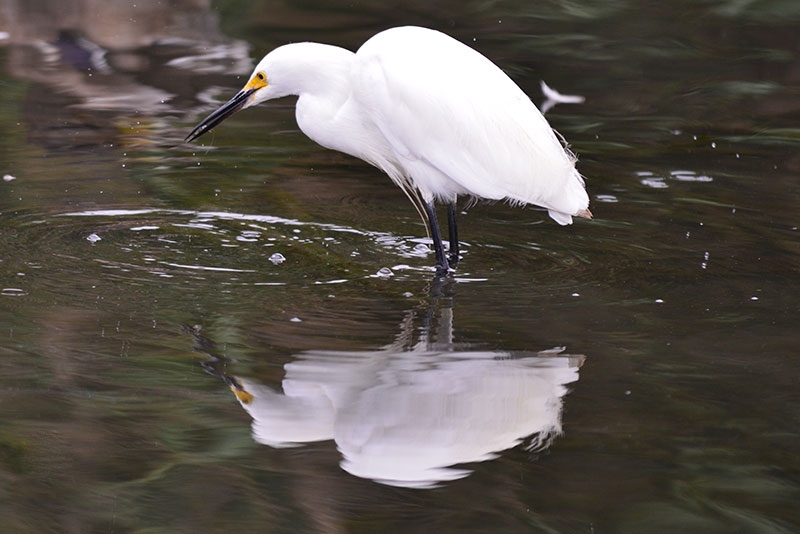 snowy-egret_1838