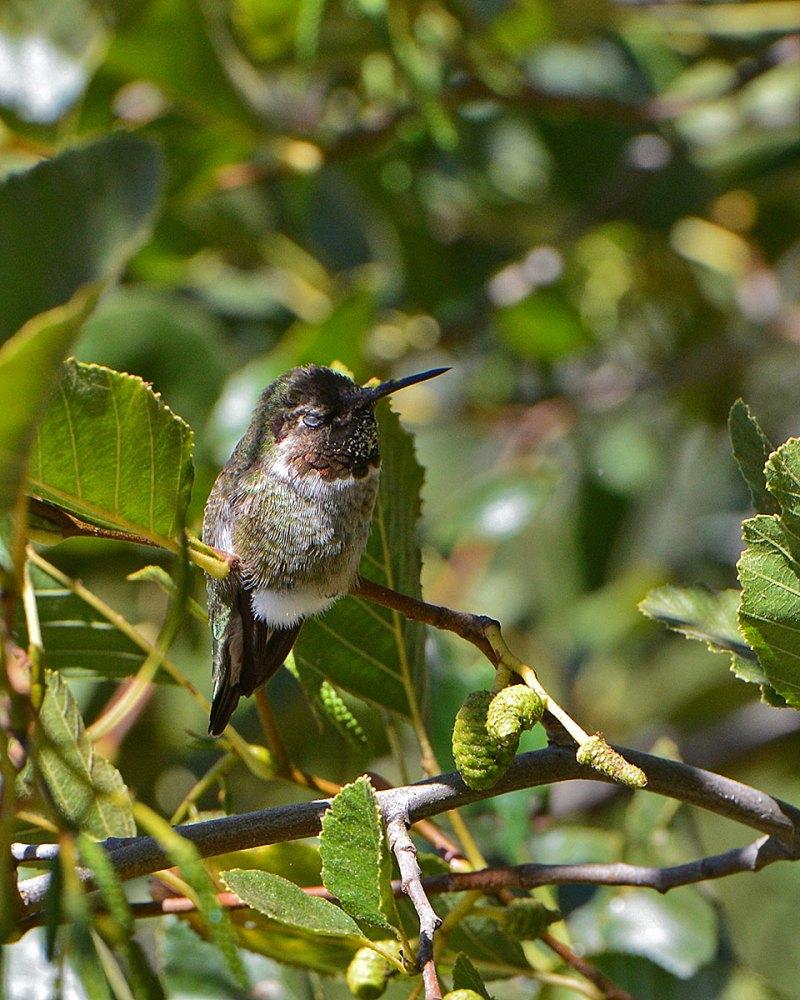 hummingbird_2248