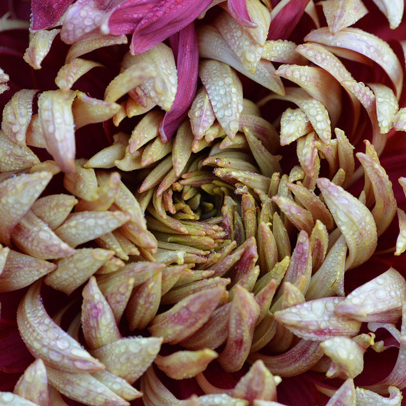 Chrysanthemum Spiral Pattern