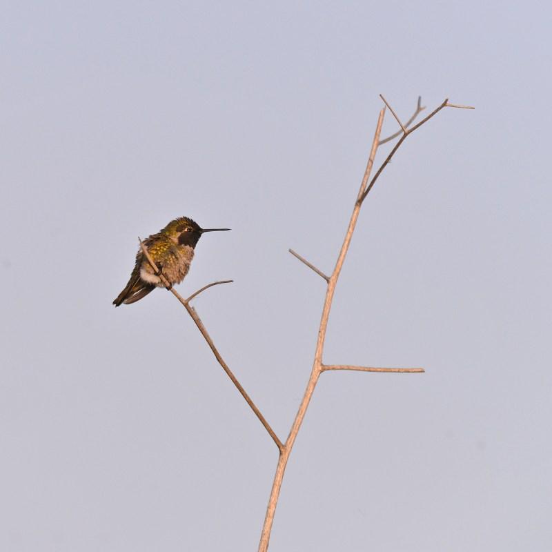 hummingbird_7237