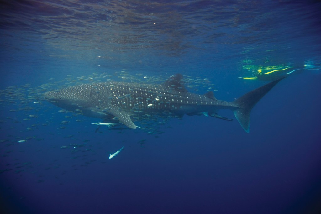 Whale Shark Ningaloo Reef, Exmouth. Courtesy: Tourism Australia