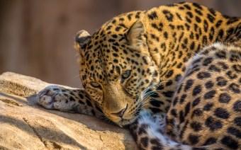 Leopard - 3840x2400 (16x10)