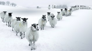 2013-12-15_EN-GB10467576611_Winter-Sheep-in-a-V-Formation-in-the-Lake-District